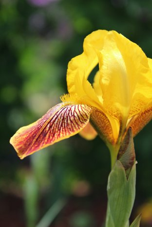Profile Yellow Bearded Iris