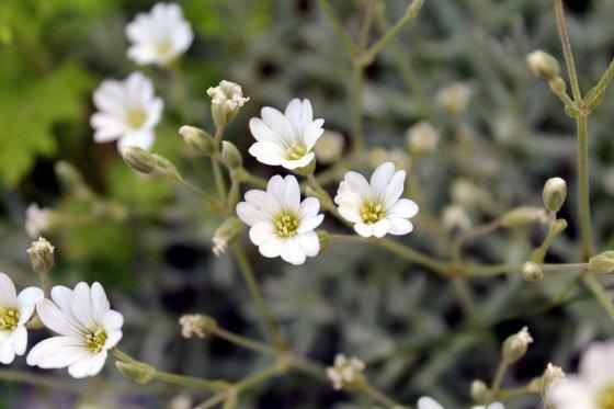 Tiny White Flower