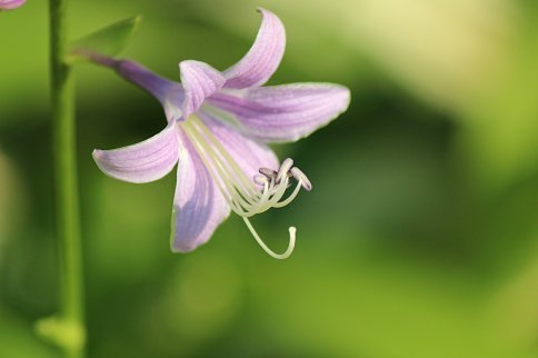 Hosta Bloom