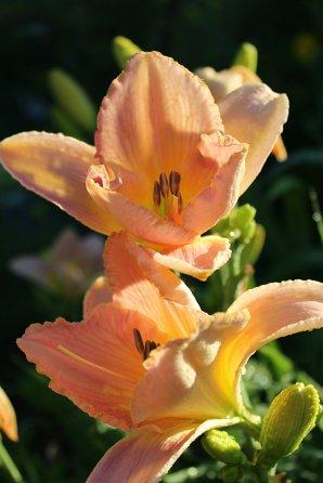 Peach Lily