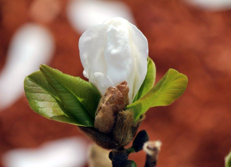 White_Flower_Bud