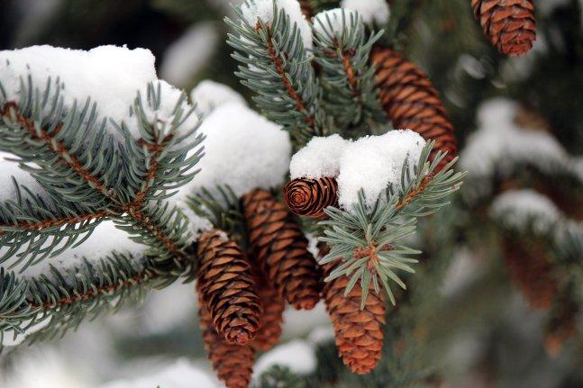 Winter_Pine_Cone